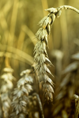 Wheat spike in the middle of a field. Stock Photo - 7699000