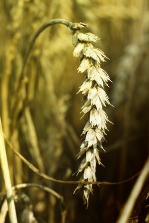 Wheat spike in the middle of a field. Stock Photo - 7699003