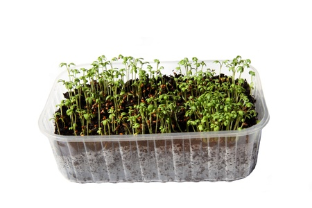 Close-up of fresh healthy green cress seeds  photo