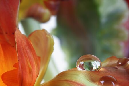 Beautiful detail of water drops on red tulip flower  photo