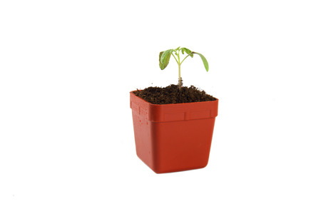 Seedling of plant of young tomato in flowerpot on white background. photo