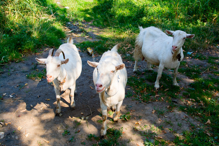pygmy goat: Three goats in the meadow