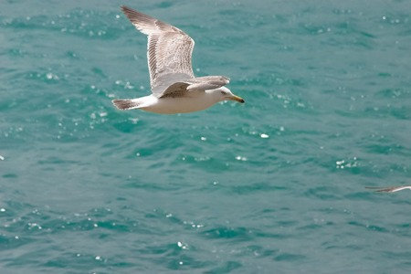 Seagull flying above the water Stock Photo