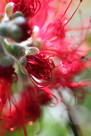 callistemon: Callistemon Buddy Stock Photo