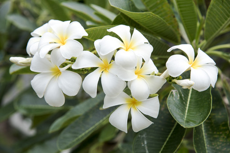 fragrant: Plumeria flowers are fragrant and beautiful