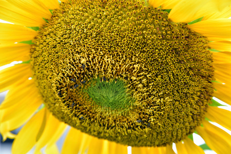 sear and yellow leaf: Sunflowers blossom wither by sunlight