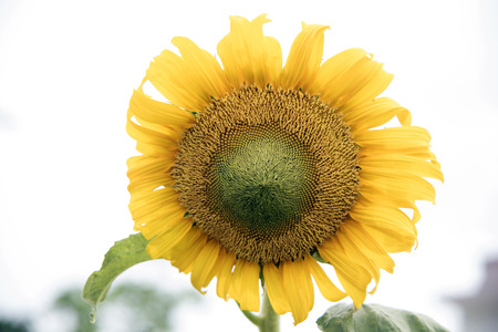 wither: Sunflowers blossom wither by sunlight