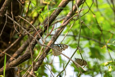 Butterflies on the island of the morning twigs look beautiful most common Archivio Fotografico