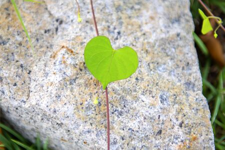 Ivy leaves and the heart of the leaves form a concept of space on the rocks in the morning