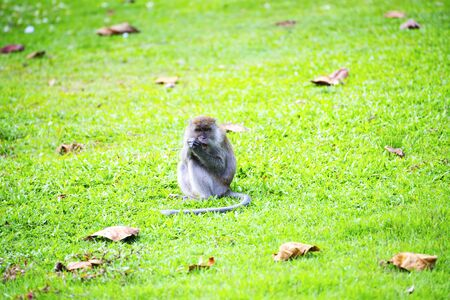 Monkey sitting peacefully on the lawn morning Stock Photo