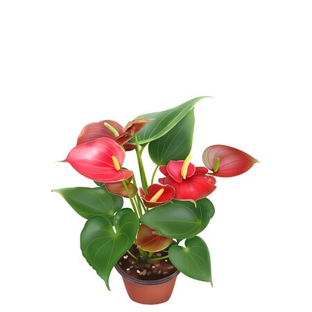 Flamingo Flower, Boy Flower, isolate on white with clipping path 版權商用圖片