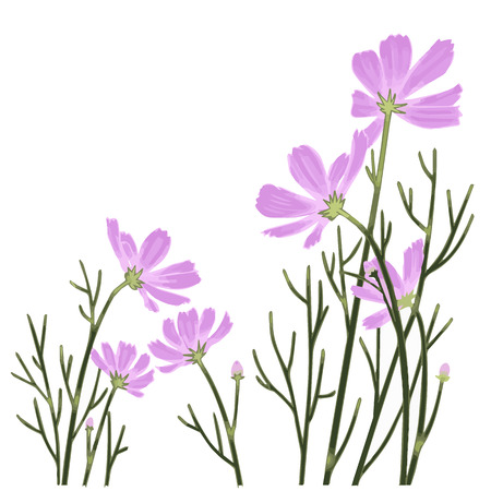 Cosmos flower isolate on white illustrations vector 向量圖像