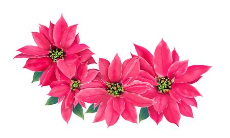 Christmas star, poinesettia, illustration isolate on white vector design