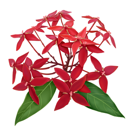 Red ixora flower isolate on white background vector 向量圖像