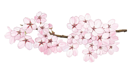 Sakura FLower with blue sky illustration vector