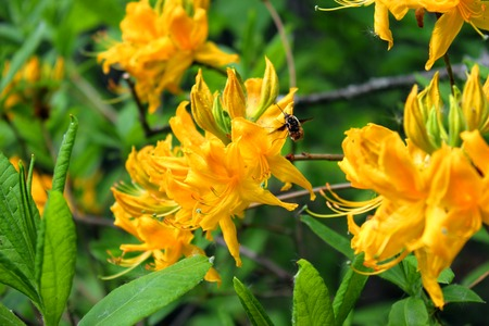 rhododendron yellow flower and a bee