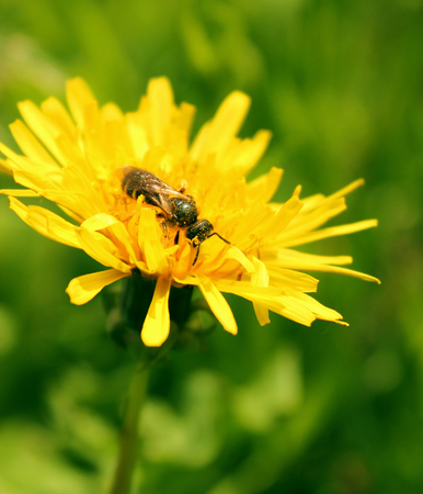 a bee collecting pollen on a yellow dandelion