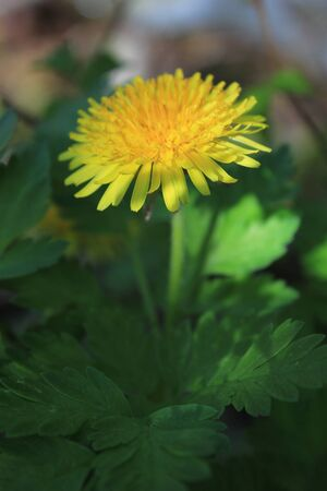 yellow blooming dandelion close Stock Photo