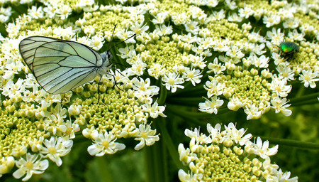 white butterfly and chafer pollinate large flower