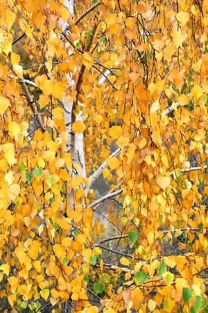 lush birch branches with orange autumn leaves