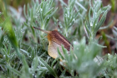 clam gardens: snail in the acute grass with dew drops Stock Photo