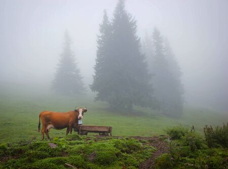 cow grazing in a meadow in the woods Stock Photo