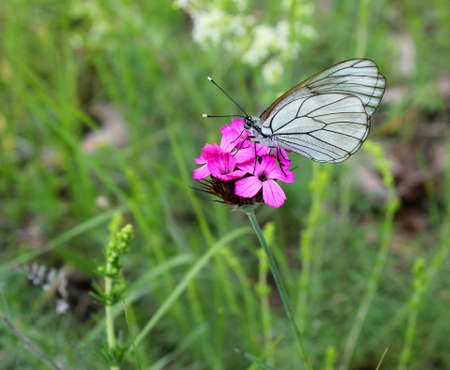 white butterfly perched on a bright pink flower on a green meadow Stock Photo