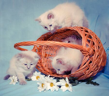 kittens play near the basket next to the inverted daisies