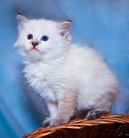 white fluffy kitten sitting on a basket with blue eyes