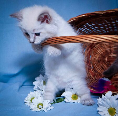 kitten near the basket with flowers of chamomile