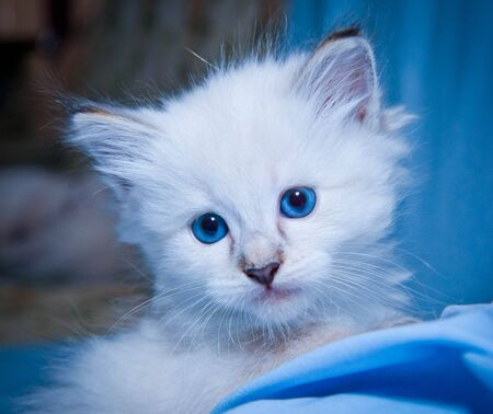 white fluffy kitten with big blue gases