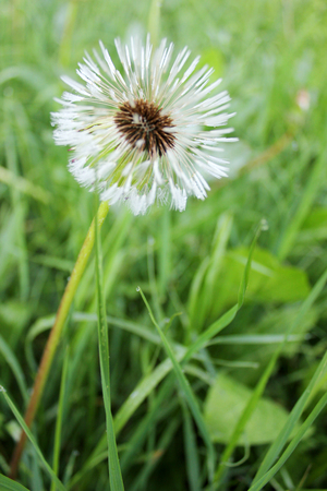wet fluffy dandelion in green grass with drops of dew