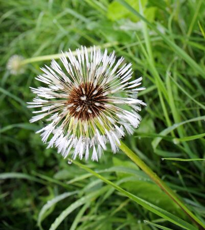 wet fluffy dandelion on meadow green grass with drops Stock Photo