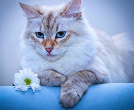 a portrait fluffy cat lying on the couch near the daisies Stock Photo