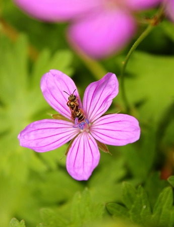 wasp washes on a bright pink flower among green foliage