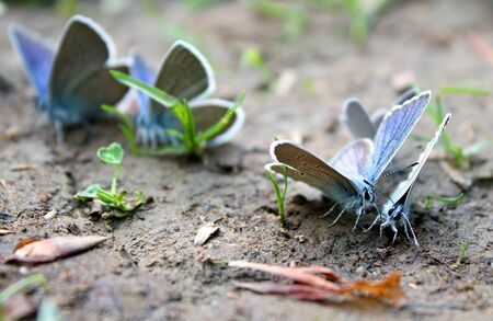 pair of blue butterflies on the ground with green grass
