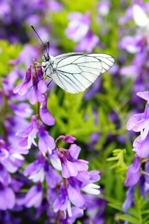 aporia crataegi butterfly pollinating a purple flower woodlice day on the meadow Stock Photo