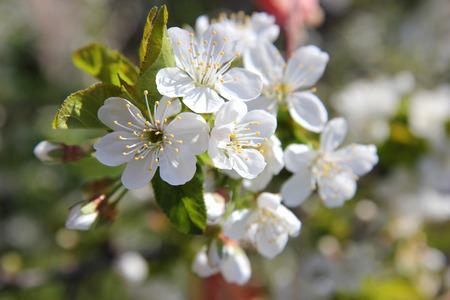 Biene Bestäubt Blühenden Zweigen Eines Baums Mit Weißen Blüten Im ...
