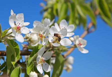 bee pollinates white flowers spring flowering crabapple tree