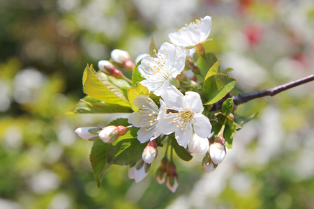 blossoming branch of a tree with white flowers in the spring garden Stock Photo