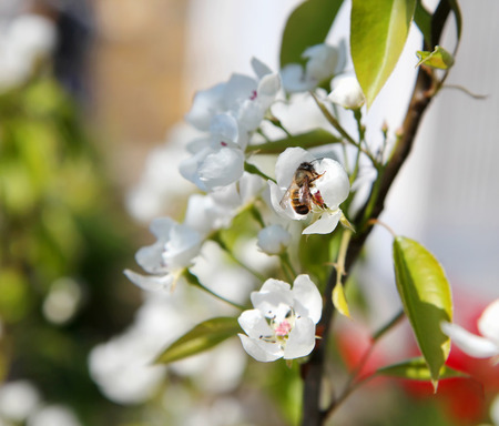 bee pollinating flowering branches of a tree with white flowers in the spring garden
