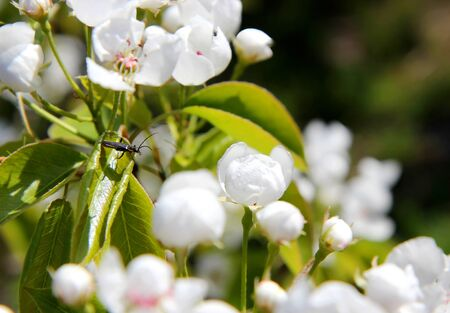 beetle sitting on a leaf and stares at the bud with dew flowering branches of a tree with white flowers in the spring garden
