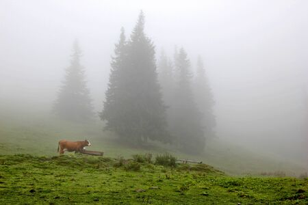 cow grazing in a meadow on a farm near the misty pine forest Stock Photo