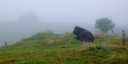 cow lying on green grass and looking at the house in the fog