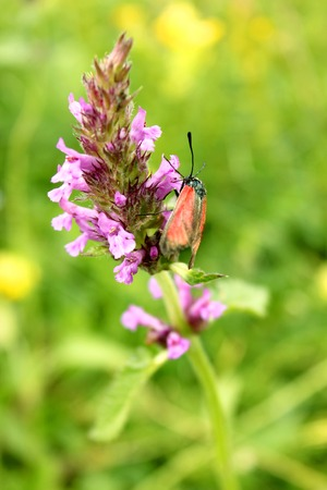 butterfly pollinates purple flower blossoms on a green meadow
