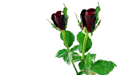 Red roses on white background, isolated.