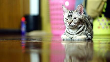 perverse: Funny American Short Hair Cat