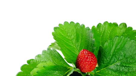 Strawberry flavor and fragrance are popular, Strawberry are used widely in a variety of manufacturing, including beverages, foods, confections, perfumes and cosmetics. Stock Photo