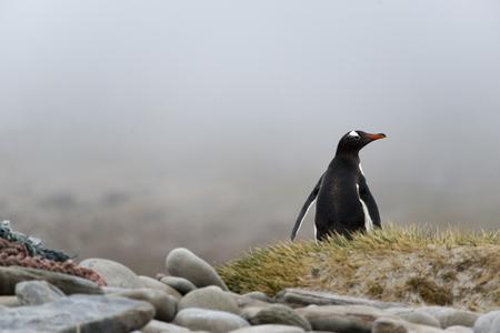 gentoo: Pinguino di Gentoo sorvegliare, isola Falkland