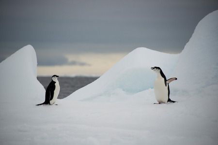 Couple of the chinstrap penguins on ice, Antarctica photo